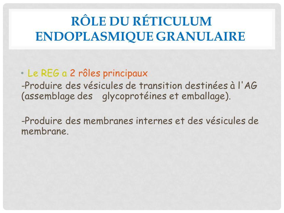 Rôle du réticulum endoplasmique granulaire