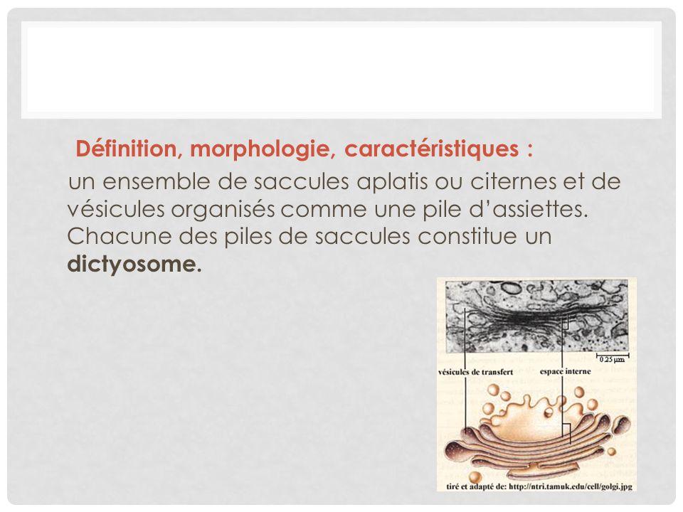 Définition, morphologie, caractéristiques : un ensemble de saccules aplatis ou citernes et de vésicules organisés comme une pile d'assiettes.