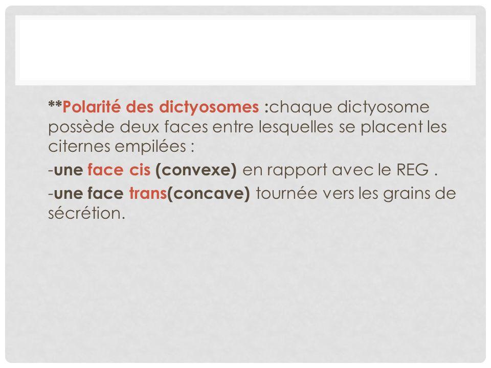 **Polarité des dictyosomes :chaque dictyosome possède deux faces entre lesquelles se placent les citernes empilées : -une face cis (convexe) en rapport avec le REG .