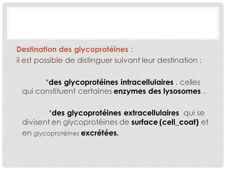 Destination des glycoprotéines : il est possible de distinguer suivant leur destination : *des glycoprotéines intracellulaires , celles qui constituent certaines enzymes des lysosomes .