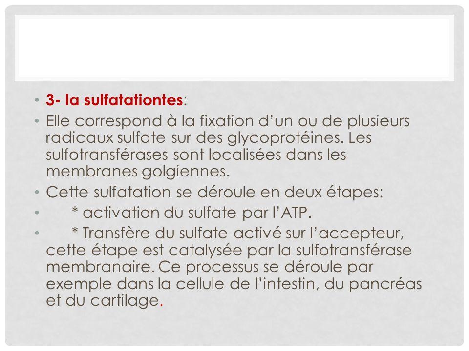 3- la sulfatationtes: