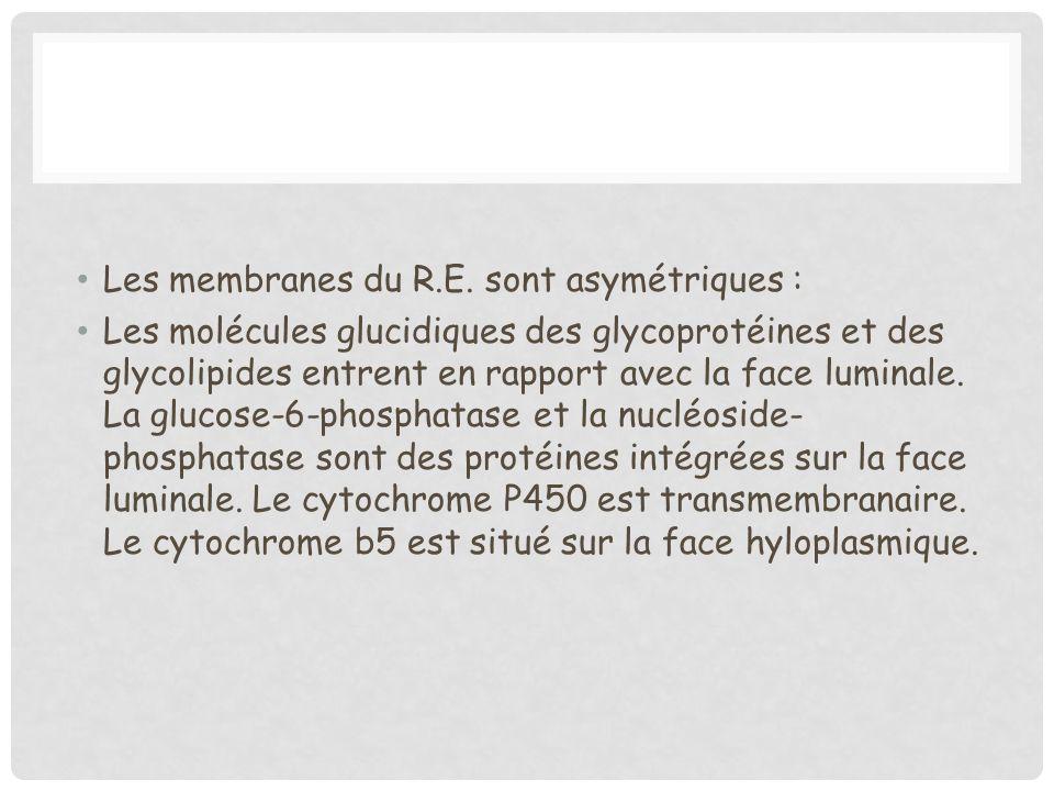 Les membranes du R.E. sont asymétriques :