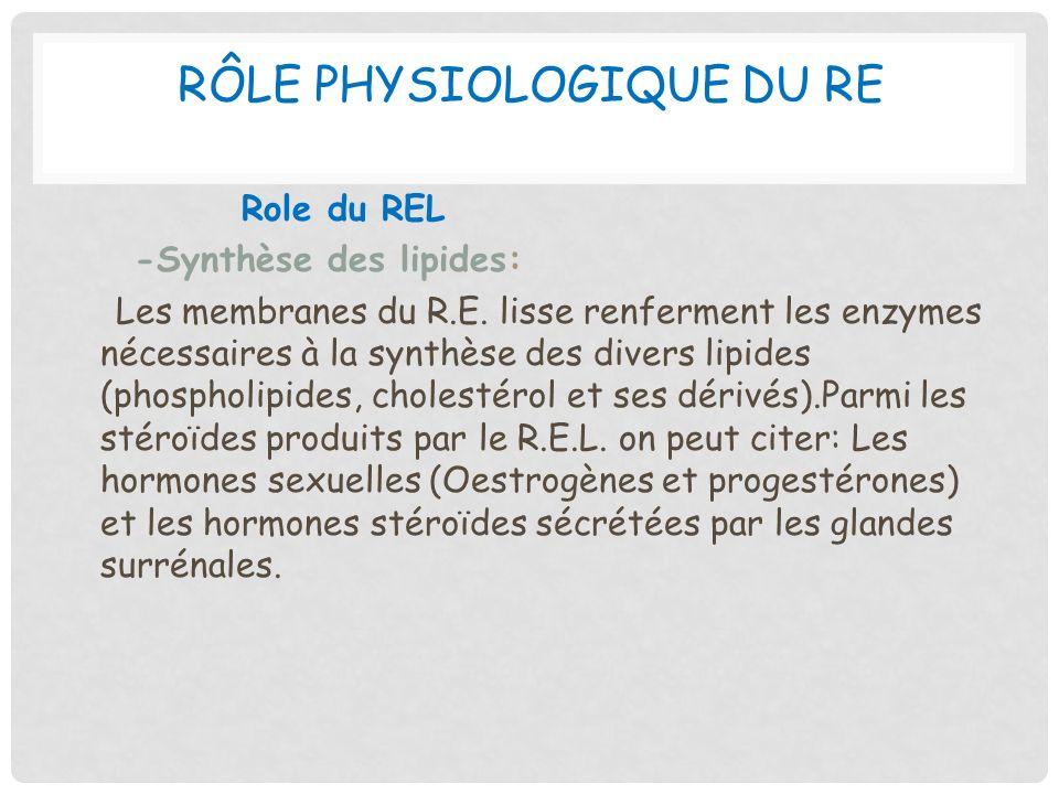 Rôle physiologique du RE