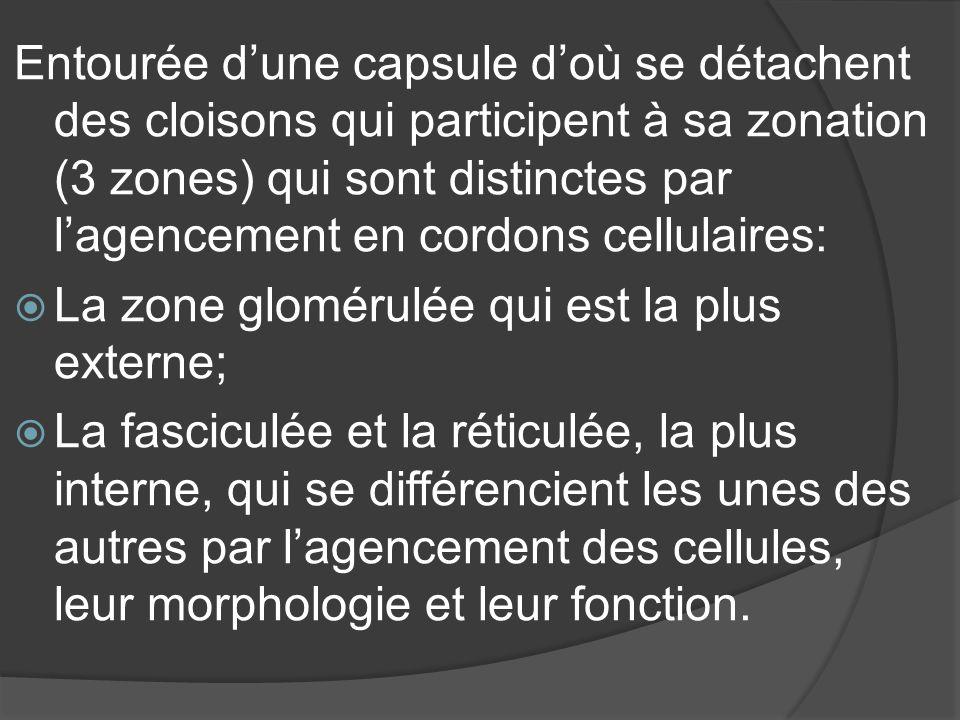 Entourée d'une capsule d'où se détachent des cloisons qui participent à sa zonation (3 zones) qui sont distinctes par l'agencement en cordons cellulaires:
