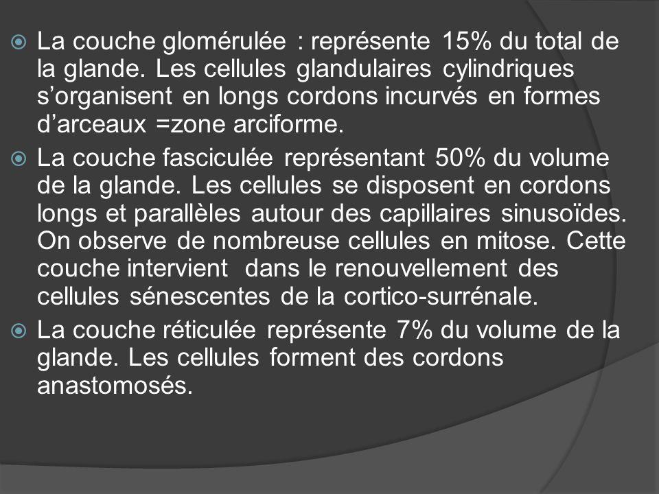 La couche glomérulée : représente 15% du total de la glande
