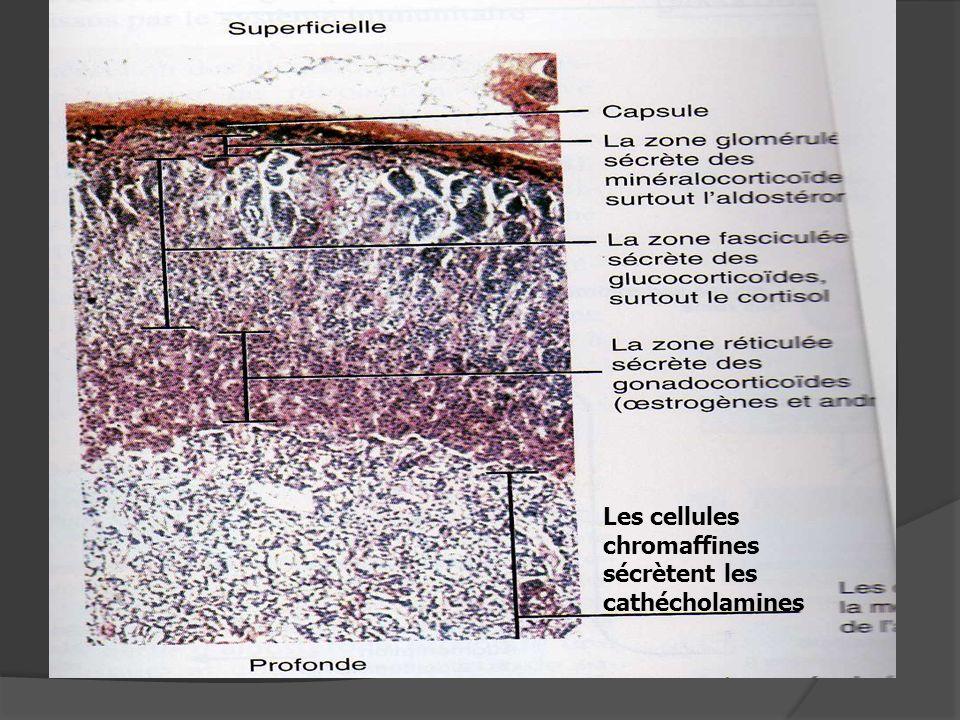 Les cellules chromaffines sécrètent les cathécholamines