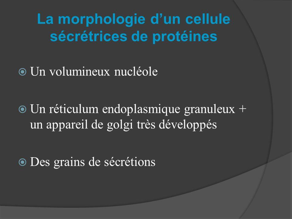 La morphologie d'un cellule sécrétrices de protéines