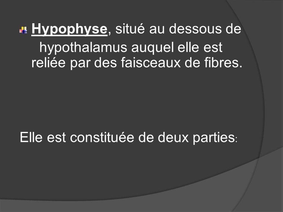 Hypophyse, situé au dessous de