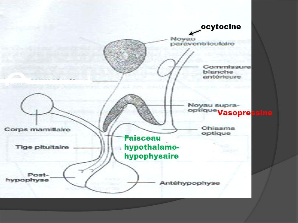 ocytocine Vasopressine Faisceau hypothalamo-hypophysaire