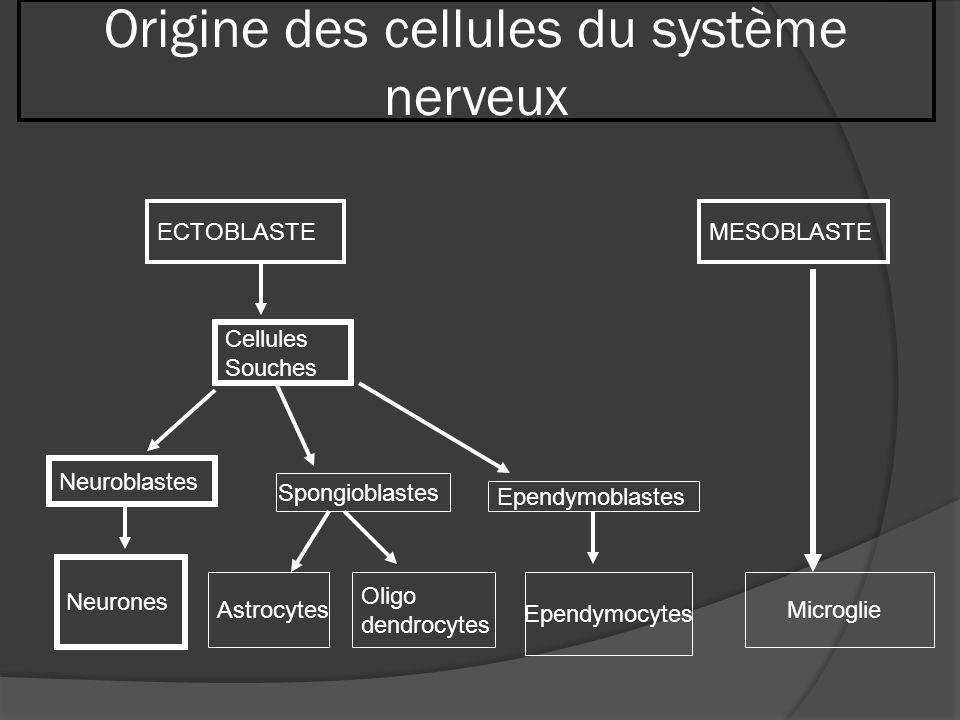Origine des cellules du système nerveux