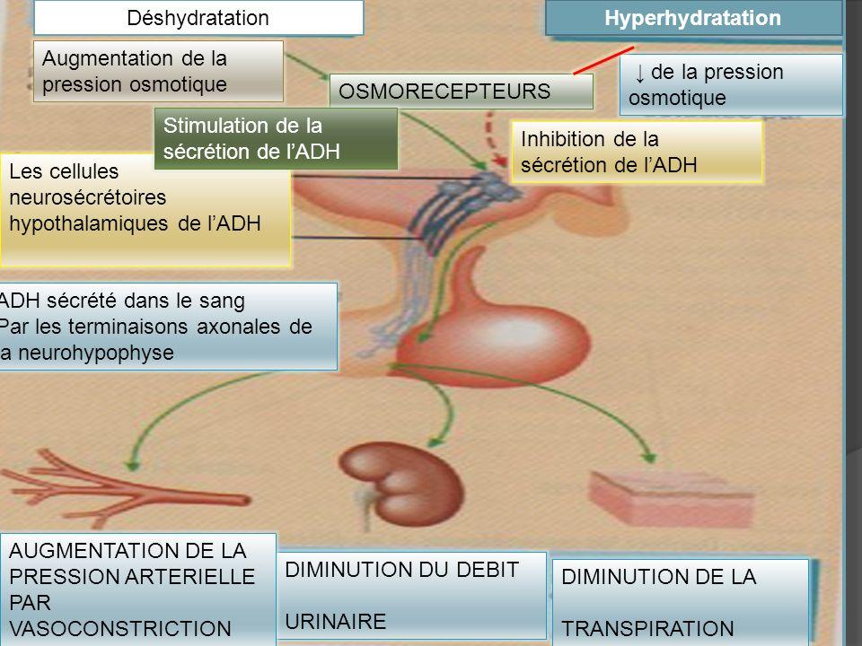 Hyperhydratation Déshydratation. ↓ de la pression osmotique. OSMORECEPTEURS. DIMINUTION DE LA. TRANSPIRATION.