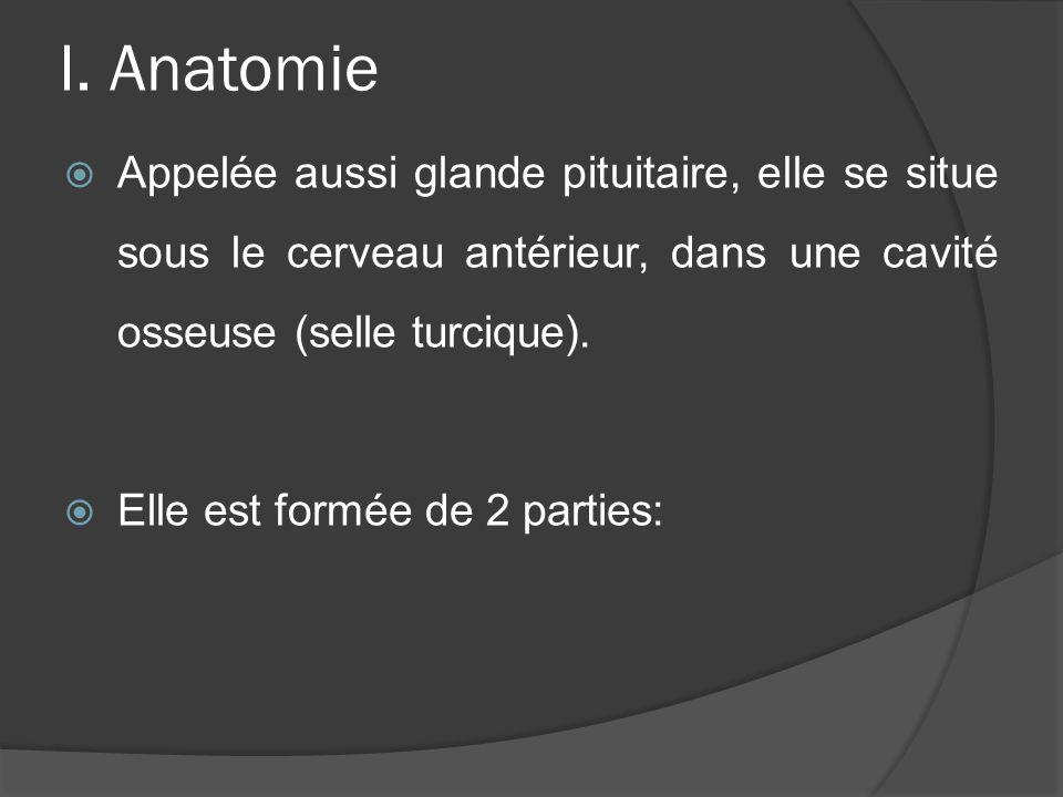 I. Anatomie Appelée aussi glande pituitaire, elle se situe sous le cerveau antérieur, dans une cavité osseuse (selle turcique).