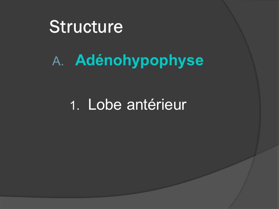Structure Adénohypophyse Lobe antérieur