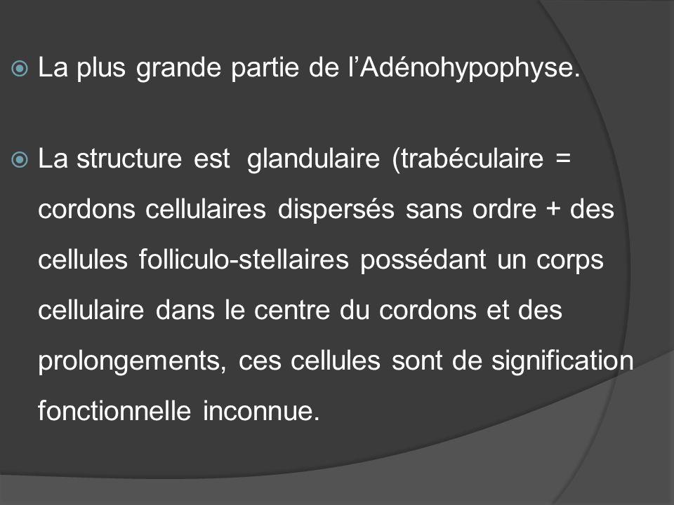 La plus grande partie de l'Adénohypophyse.