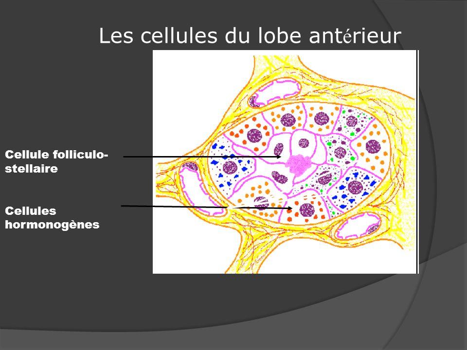 Les cellules du lobe antérieur