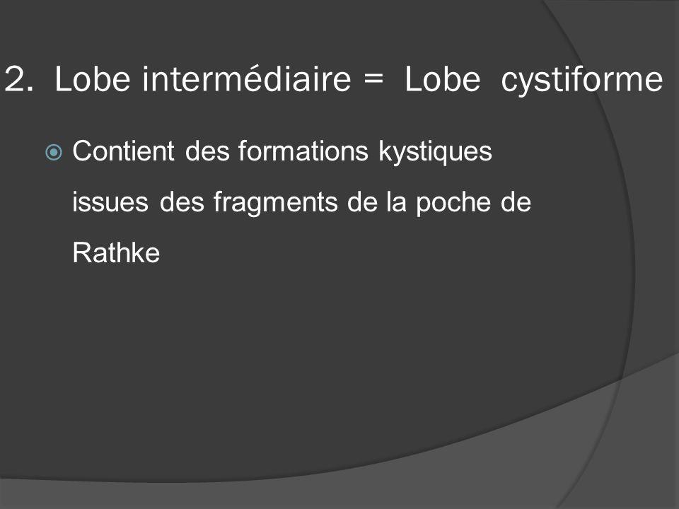 2. Lobe intermédiaire = Lobe cystiforme