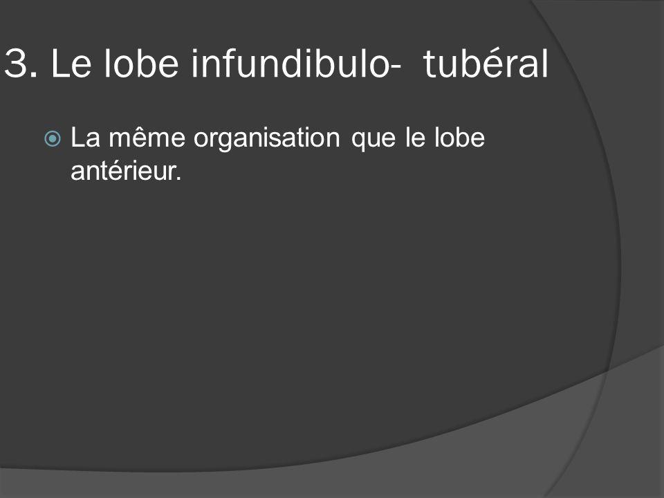 3. Le lobe infundibulo- tubéral