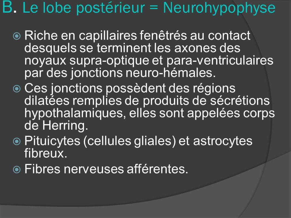 B. Le lobe postérieur = Neurohypophyse