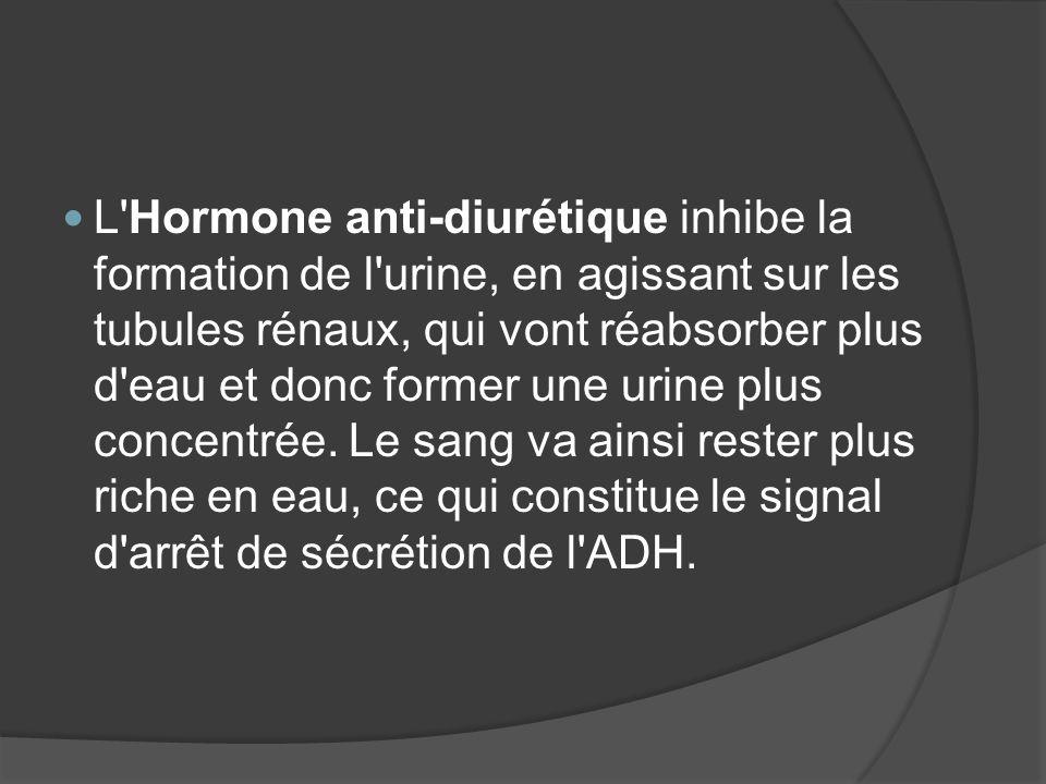 L Hormone anti-diurétique inhibe la formation de l urine, en agissant sur les tubules rénaux, qui vont réabsorber plus d eau et donc former une urine plus concentrée.