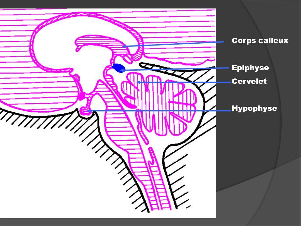 Corps calleux Epiphyse Cervelet Hypophyse