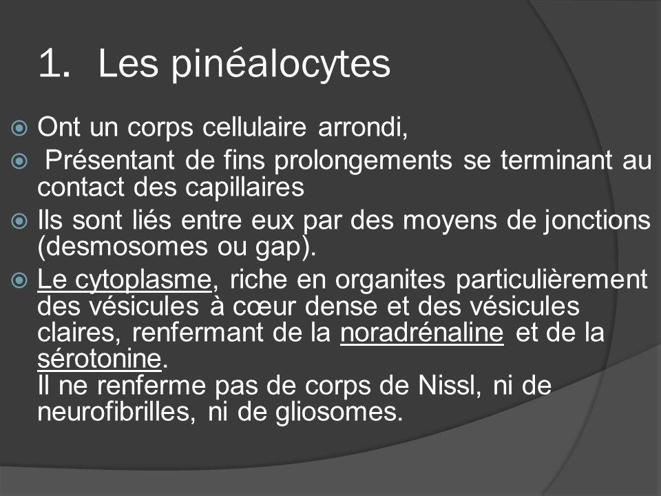 Les pinéalocytes Ont un corps cellulaire arrondi,