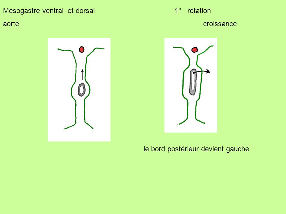 Mesogastre ventral et dorsal 1° rotation