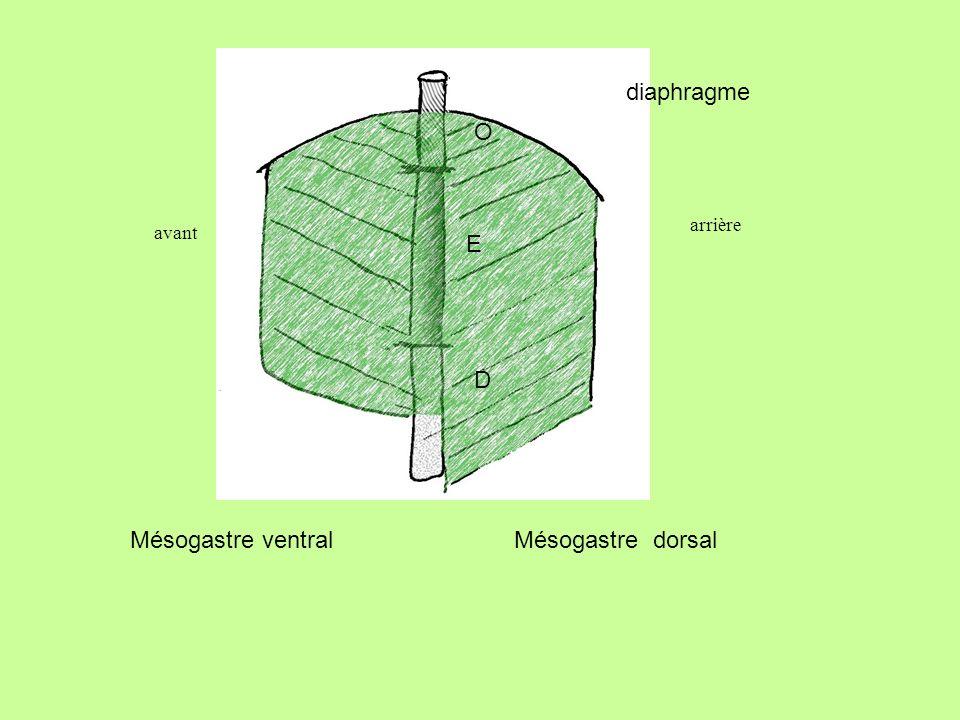 Mésogastre ventral Mésogastre dorsal