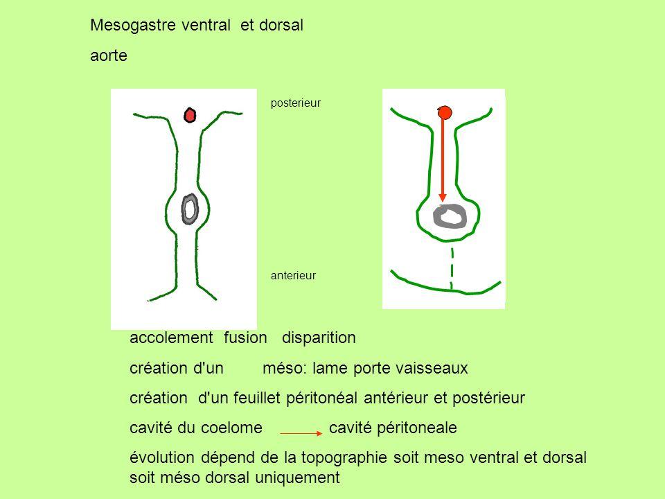 Mesogastre ventral et dorsal aorte