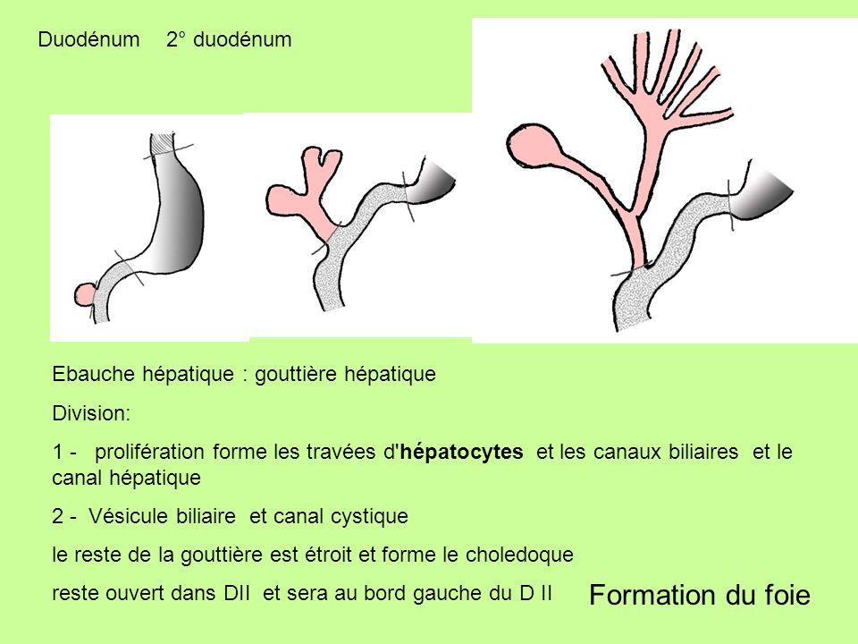 Formation du foie Duodénum 2° duodénum