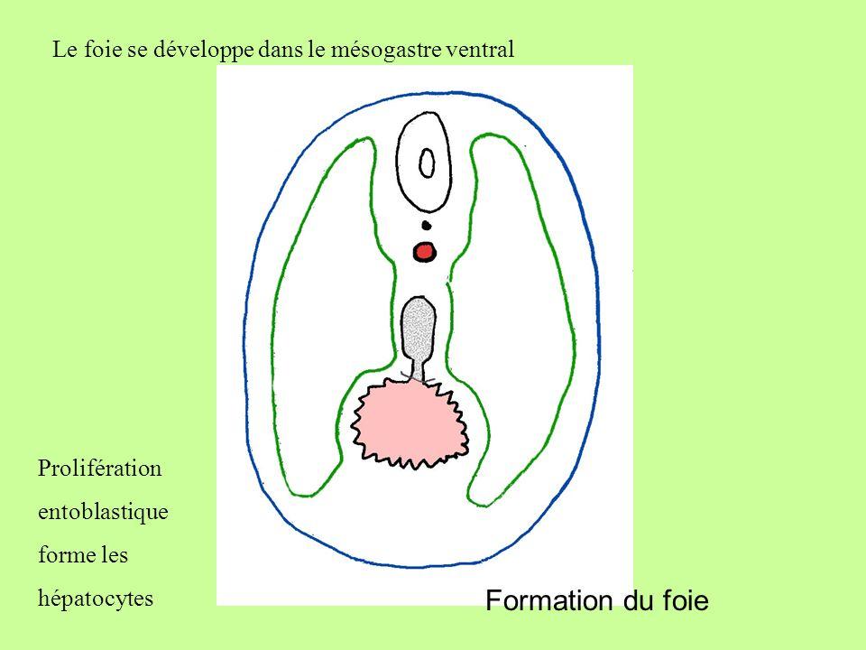 Formation du foie Le foie se développe dans le mésogastre ventral