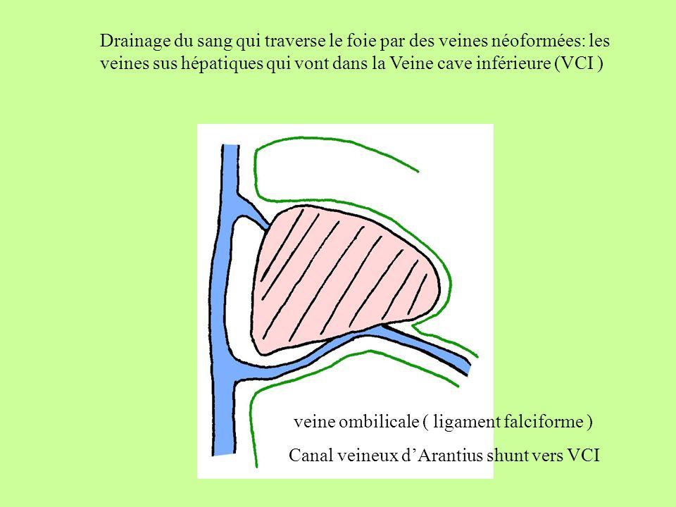 Drainage du sang qui traverse le foie par des veines néoformées: les veines sus hépatiques qui vont dans la Veine cave inférieure (VCI )