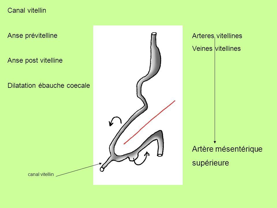 Artère mésentérique supérieure Canal vitellin Anse prévitelline