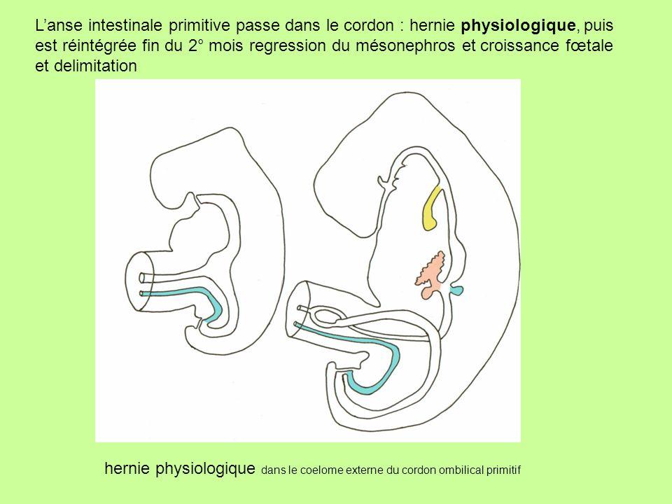 L'anse intestinale primitive passe dans le cordon : hernie physiologique, puis est réintégrée fin du 2° mois regression du mésonephros et croissance fœtale et delimitation