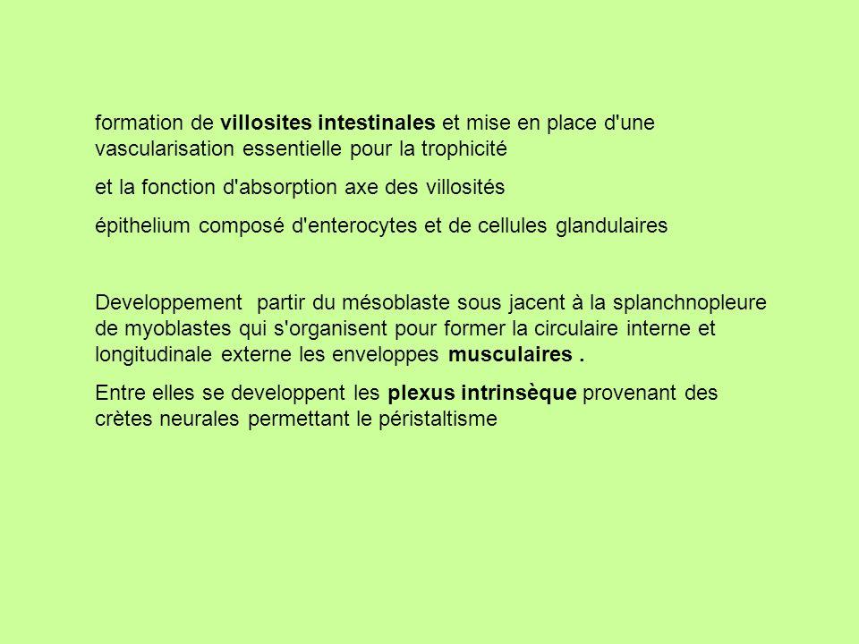 formation de villosites intestinales et mise en place d une vascularisation essentielle pour la trophicité
