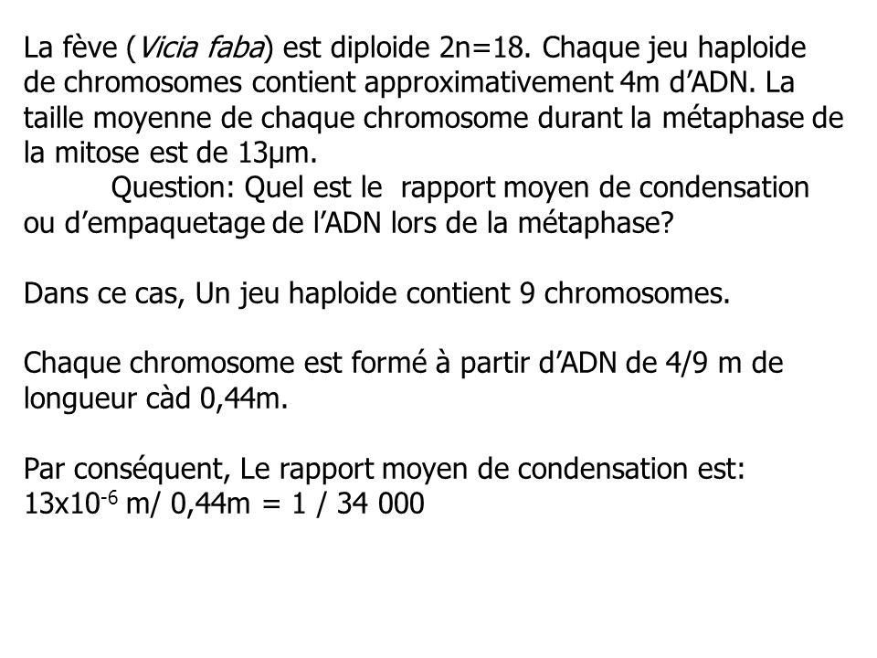 La fève (Vicia faba) est diploide 2n=18