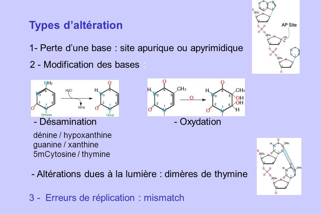 Types d'altération 1- Perte d'une base : site apurique ou apyrimidique