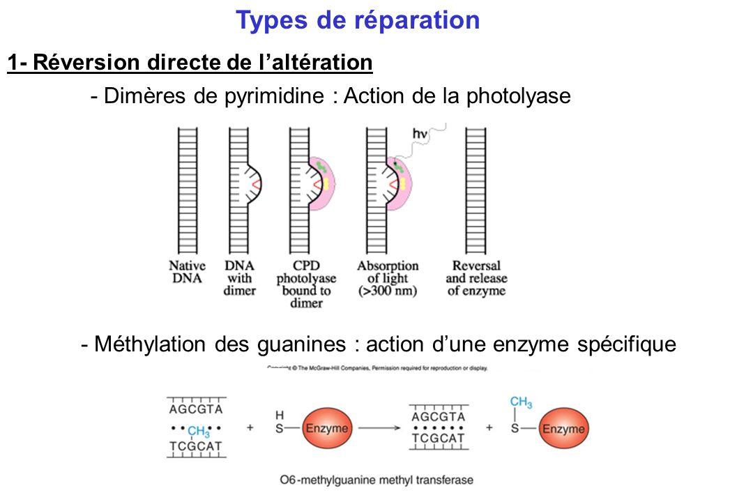 Types de réparation 1- Réversion directe de l'altération
