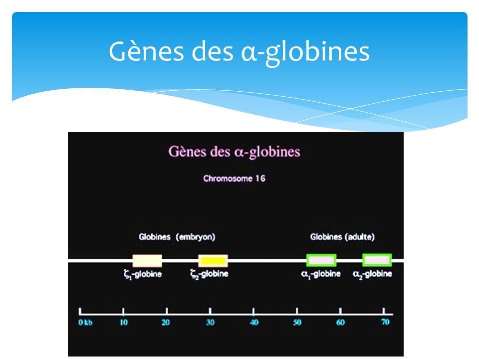 Gènes des α-globines
