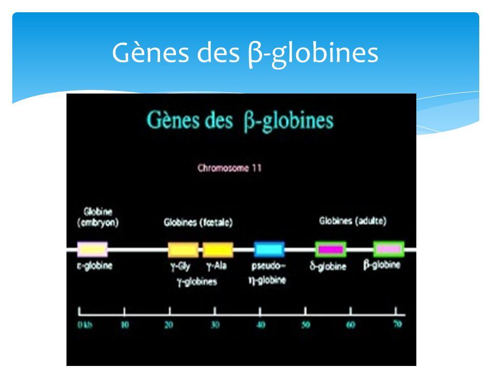 Gènes des β-globines