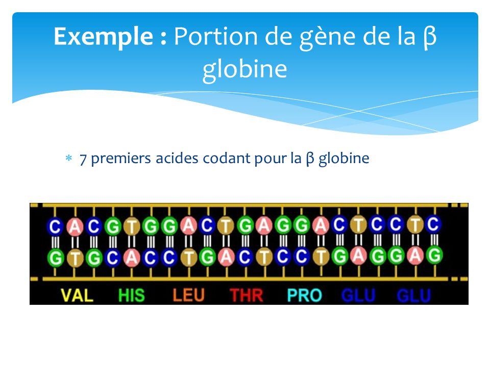 Exemple : Portion de gène de la β globine