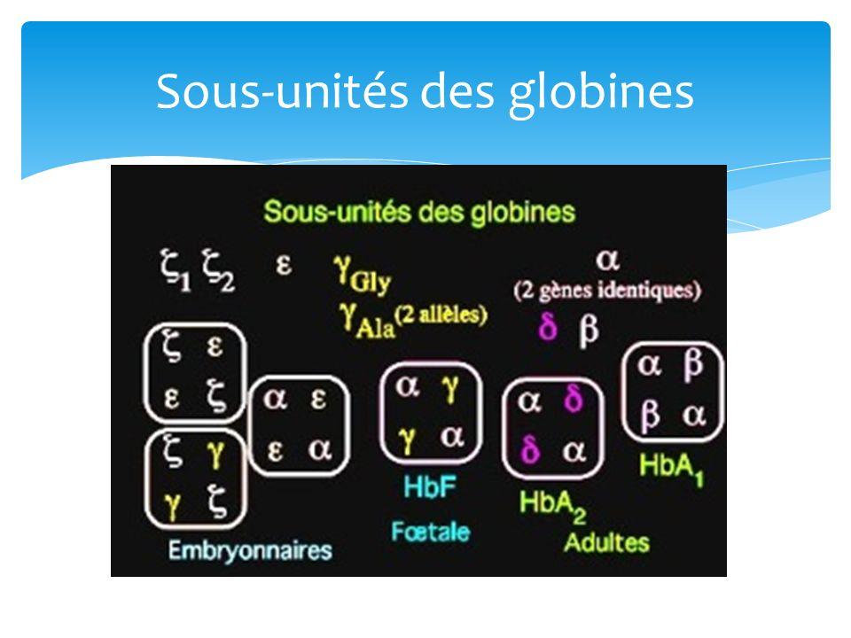 Sous-unités des globines