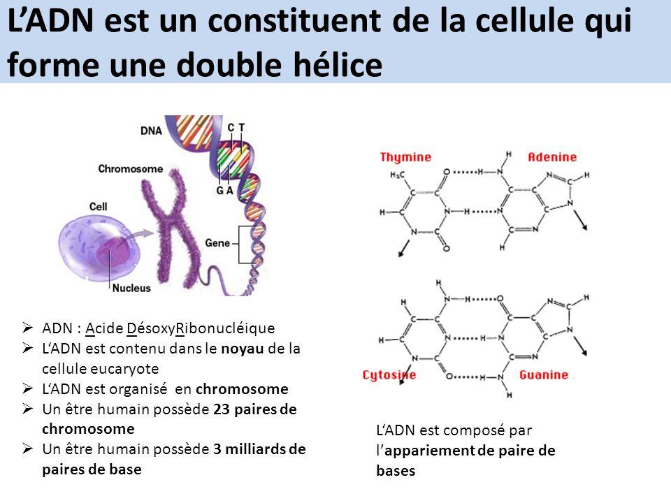 L'ADN est un constituent de la cellule qui forme une double hélice