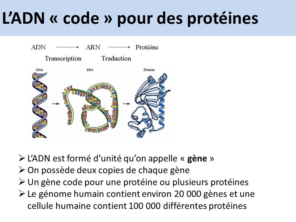 L'ADN « code » pour des protéines
