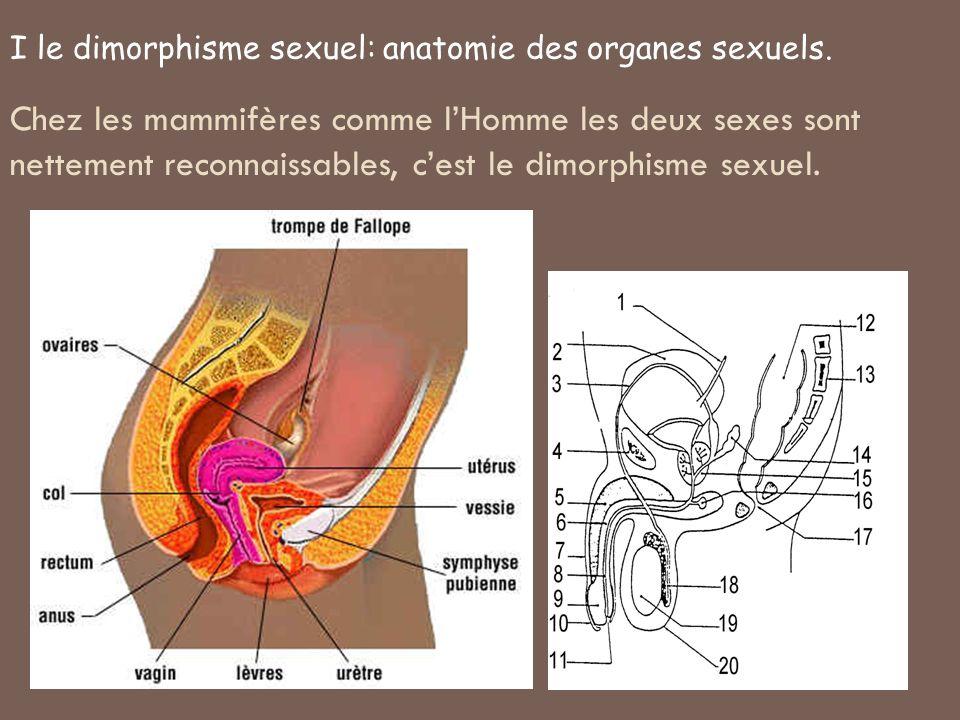 I le dimorphisme sexuel: anatomie des organes sexuels.
