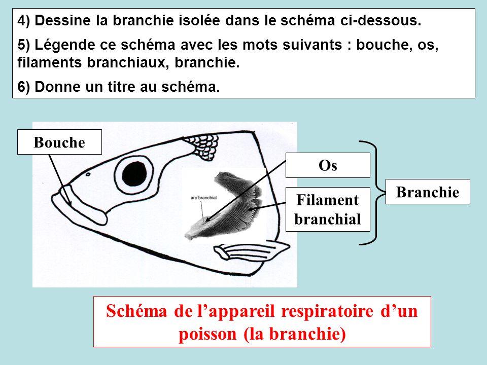 Schéma de l'appareil respiratoire d'un poisson (la branchie)