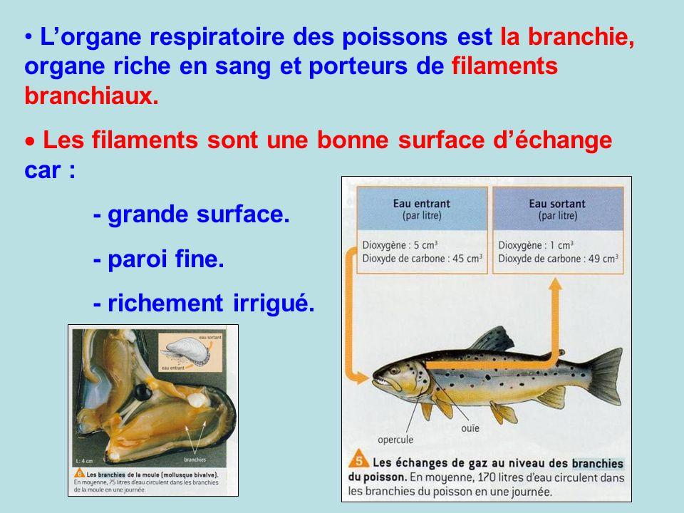 L'organe respiratoire des poissons est la branchie, organe riche en sang et porteurs de filaments branchiaux.