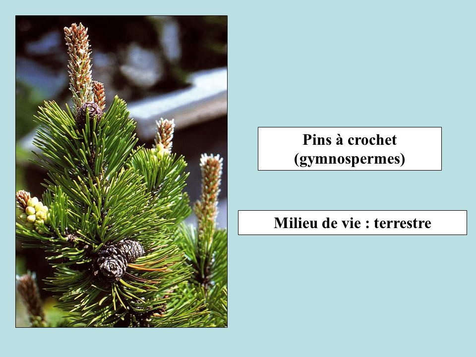 Pins à crochet (gymnospermes) Milieu de vie : terrestre