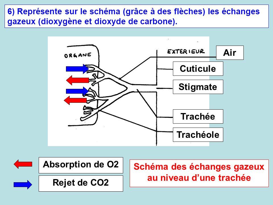 Schéma des échanges gazeux au niveau d'une trachée
