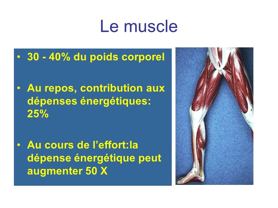 Le muscle 30 - 40% du poids corporel