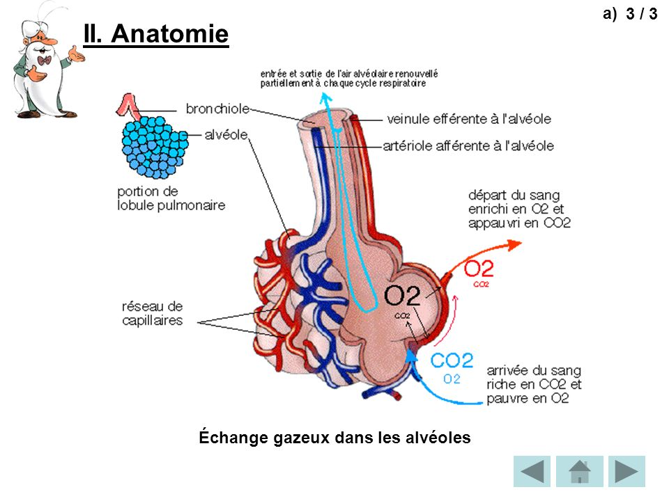 a) 3 / 3 II. Anatomie Échange gazeux dans les alvéoles